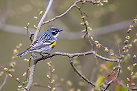 Yellow-rumped Warbler (Setophaga coronata coronata), Myrtle subspecies, male in breeding plumage, a spring migrant to New York City's Central Park.