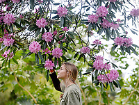 BNPS.co.uk (01202 558833)<br />Pic: ZacharyCulpin/BNPS<br /><br />Blooms amongst the gloom<br /><br />Gardener, Becky Alton pictured with stunning pink Rhododendron at the The Lost Gardens Heligan. Located near Mevagissey in Cornwall., the magnolia grows in the 'Jungle' area of the 200 acres garden. The Jungle sits in a steep-sided valley, creating a microclimate at least five degrees warmer than the rest of Helican Gardens.