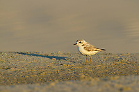 Adult Snowy Plover (Charadrius alexandrinus). Bon Secour National Wildlife Refuge. Baldwin County, Alabama. June.