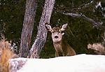Mule deer, Yellowstone National Park, Wyoming