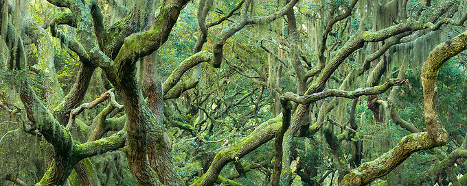 An intimate view of the sometimes chaotic mossy arms of old oak trees in the maritime forest of Cumberland Island.