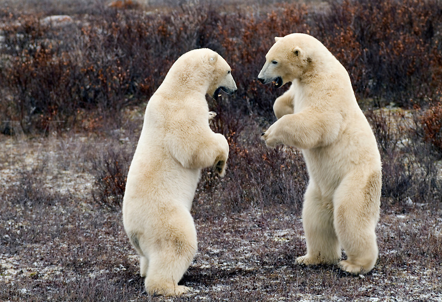 Polar Bear close encounter as bears play fight next to Tundra Buggies with tourists at Churchill Manitoba Canada