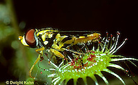 CA07-004a  Sundew - flower fly caught in sundew - Drosera rotundifolia