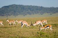 Grants Gazelle, Serengeti National Park, Tanzania, East Africa
