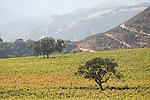 Vineyard leaves changing to golden and orange, oak tree, mouth of the Arroyo Seco in Salinas Valley