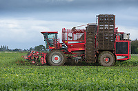Contractor Richard Ivatt starts lifting the first field of sugar beet of the 2017 campaign<br /> Picture Tim Scrivener 07850 303986<br /> &hellip;.covering agriculture in the UK&hellip;.
