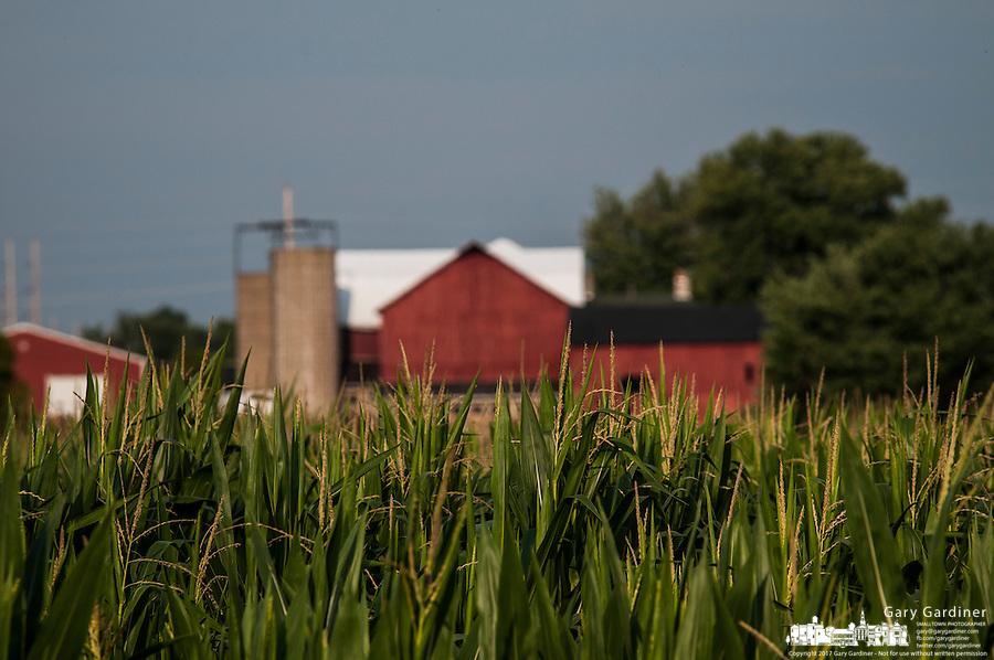 Corn begins to tassel on suburban farm.