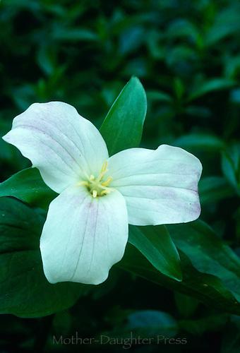 Trillium Grand florum, wake robin
