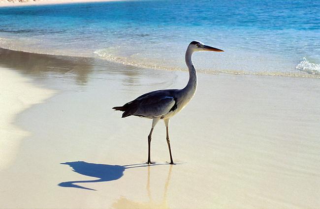 Vilu reef (atoll de Dhaalu), un heron sur la plage. *** Vilu reef (Dhaalu atoll), heron on beach.