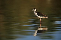 579506577 a wild juvenile black-necked stilt himantopus mexicanus wades in the salton sea while foraging for food