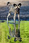 African wild dog (Lycaon pictus) at water hole, Moremi Game Reserve, Okavango Delta, Botswana