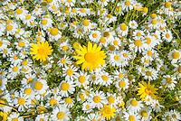 Corn marigold and ox-eye daisies in a field, Cambridgeshire.