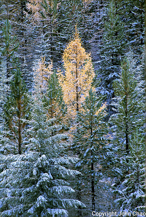 Solo Larch tree amidst snowy evergreen trees at Blewett Pass, Wenatchee National Forest, Cascade Mountains, Washington State.