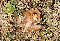A fox lies sunning itself near the perimeter fence at Glasgow Prestwick Airport on 23.11.16.