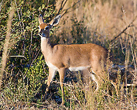 Steenbok, Pilanesberg Game Reserve, SA