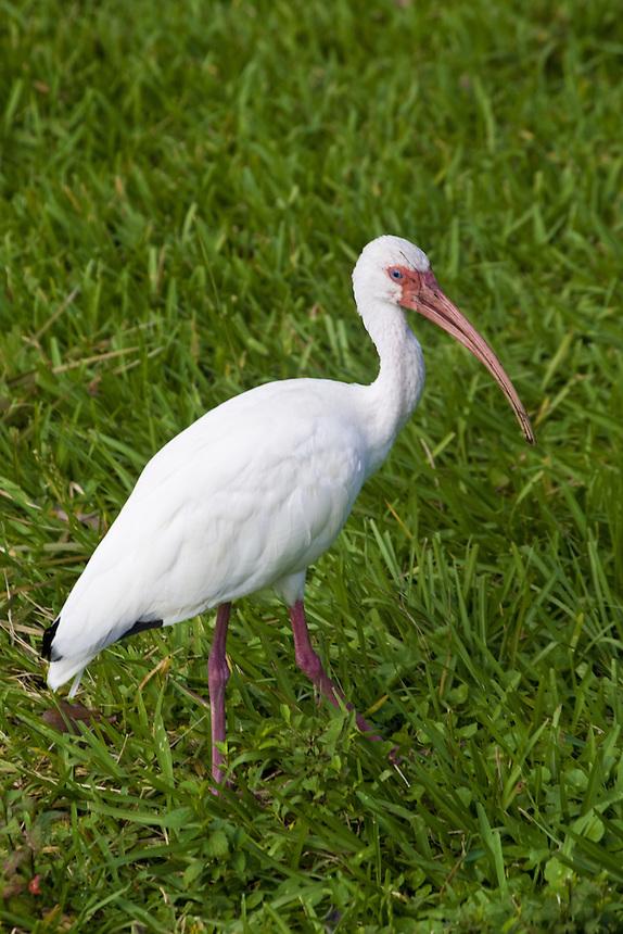 White ibis, Morton Lake, Lakeland, Florida