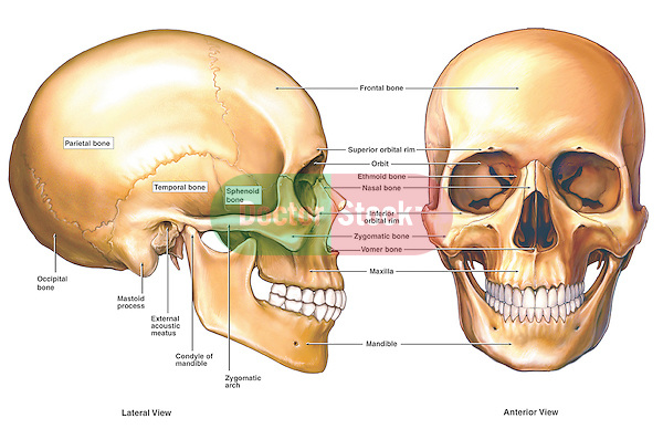Accurately depicts the anatomy of the skull from lateral (side) and anterior (front) views. Labeled bones include the frontal bone, temporal bone, orbit, nasal bone, maxilla, mandible, zygomatic bone, zygomatic arch, mandibular condyle, external acoustic meatus, mastoid process, occipital bone and parietal bone.