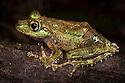 Tree frog {Mantidactylus aglavei} on branch in rainforest. Andasibe-Mantadia National Park, Eastern Madagascar.