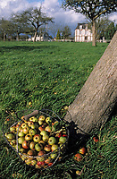Europe/France/Normandie/Basse-Normandie/14/Calvados/Saint-Désir-de-Lisieux: Chez Thierry Desfrieches propriétaires récoltant de cidre et calva - La récolte des pommes