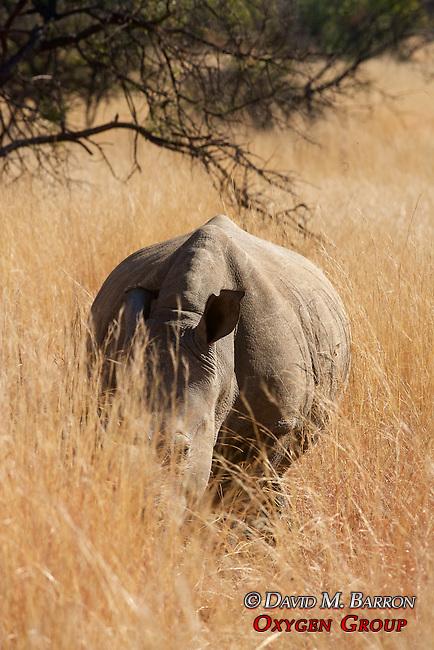 White Rhinoceros & Baby