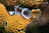Tube sponge and Feather Duster worm