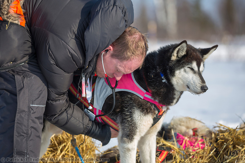 Vets examine sled dogs during the 2015 Iditarod, Manley Hot Springs checkpoint, Alaska.