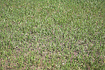Green shoots of cereal crop in spring