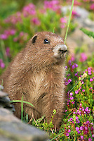 Olympic Marmot (Marmota olympus) in alpine area of Olympic Mountains, Olympic National Park, Washington.  Summer.