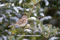01588-00906 American Tree Sparrow (Spizella arborea) in fir tree in winter, Marion Co., IL
