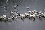 The woodstorks feed by walking along moving their beaks through the water, feeling for fish.