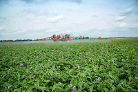 Spraying Maris Piper potatoes with blight spray - Lincolnshire, July