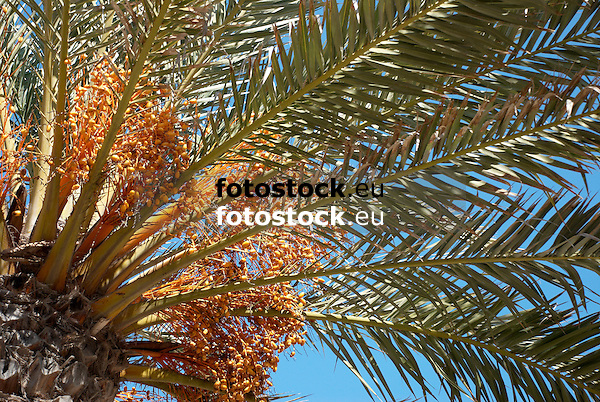 palm tree with dates<br /> palmera con d&aacute;tiles<br /> Palme mit Datteln