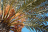 palm tree with dates<br /> palmera con dátiles<br /> Palme mit Datteln
