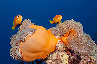 Maldives Anemonefish, Amphiprion nigripes, South Male Atoll, Indian Ocean, Maldives