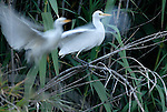 Cattle Egrets landing in roost of Bamboo,Estepona Spain.