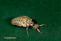 1L50-018e   Antlion larva  - Myrmeleon crudelis..