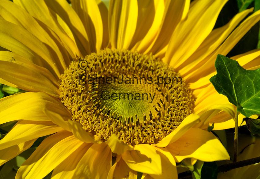 Germany, Baden-Wuerttemberg, Markgraefler Land, sun-flower