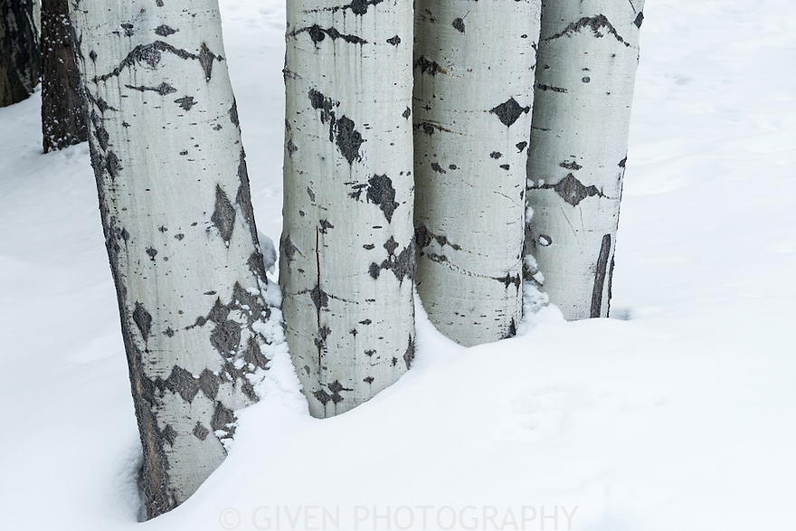 Aspen trees in snow, Oregon