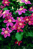 Clematis 'Anna Louise'