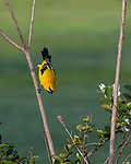 The Yellow Oriole, Icterus nigrogularis, is also called the 'plantain' and 'small corn bird', and in Venezuela it is known as 'gonzalito'. It breeds in northern South America in Colombia, Venezuela, Trinidad, the Guianas and parts of northern Brazil, . The yellow oriole is a bird of open woodland, scrub and gardens.   Photographed here in the Georgetown Botanical Gardens, Georgetown, Guyana.