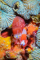 Modest snapping shrimp, Synalpheus modestus, Lembeh Strait, North Sulawesi, Indonesia, Pacific