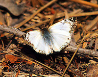 Male laviana white-skipper