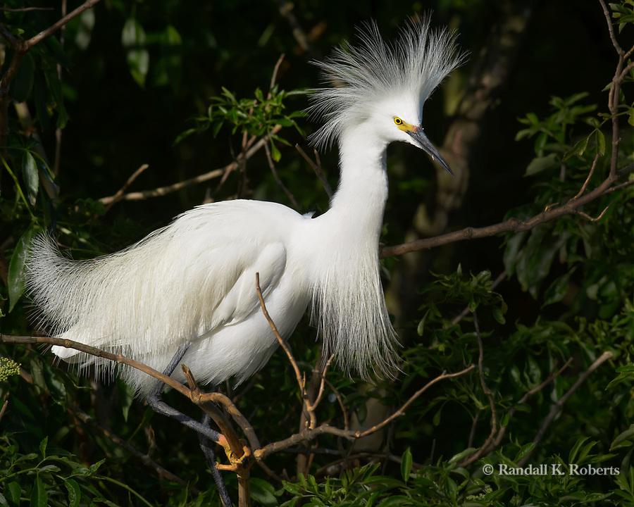 Snowy egret,  Osceola County, Florida