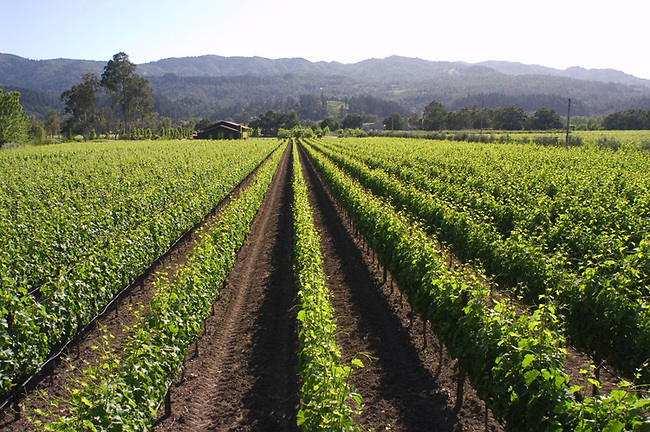Vineyard of Rutherford Grove winery, St. Helena