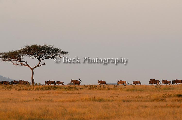 A herd of wildebeest invade the horizon in Africa