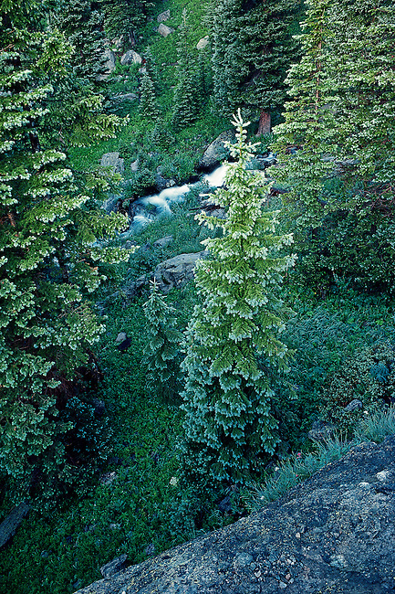 spring growth in the forest along Tyndall Creek in Rocky Mountain National Park, Colorado, USA