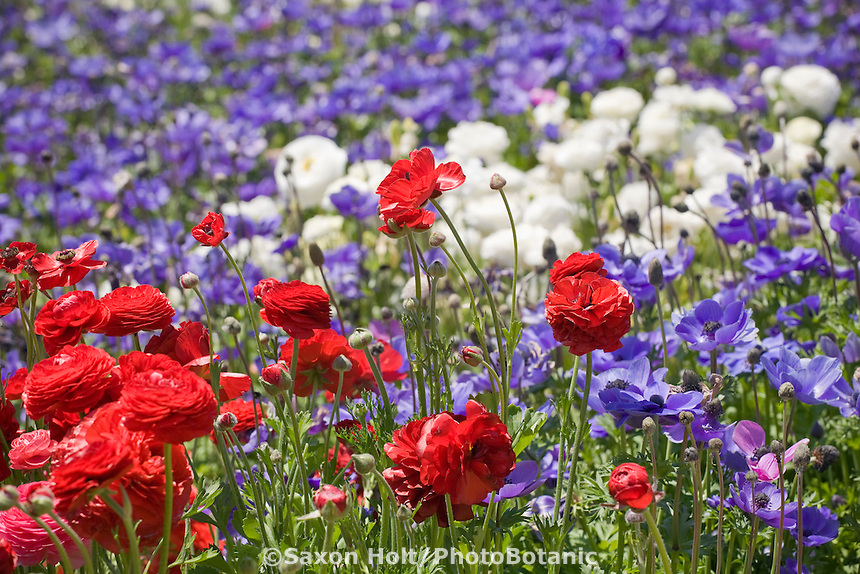 Red Ranunculus flower (tuberous perennial) against field of blue and white at The Flower Fields, cut flower ranunculas display farm, San Diego (Carlsbad) California