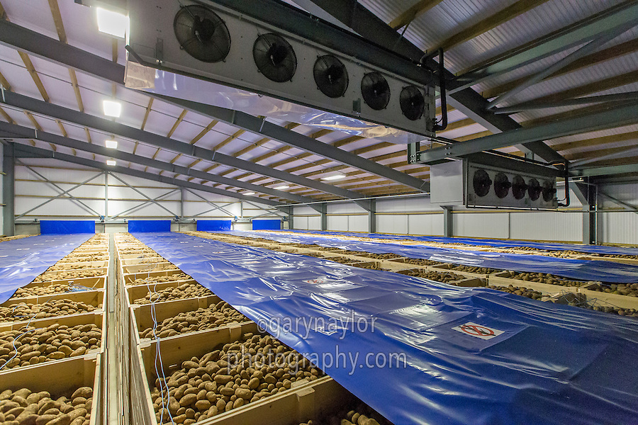 Maris Piper potatoes stored in a 1,500t suction wall refrigertaed store - Lincolnshire, October
