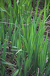 Leaves of the Flag Iris in wetland Suffolk England
