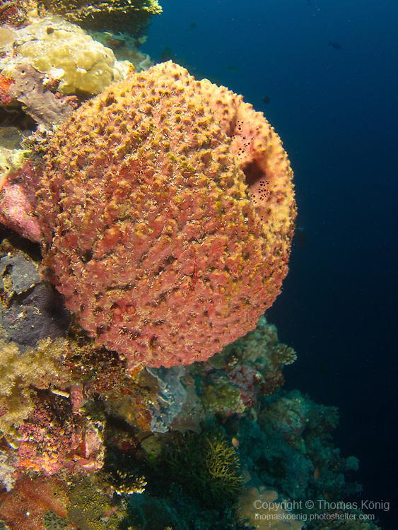 Apo Reef, Sulu Sea -- Orange sponge with tiny goby on it on a sea wall.